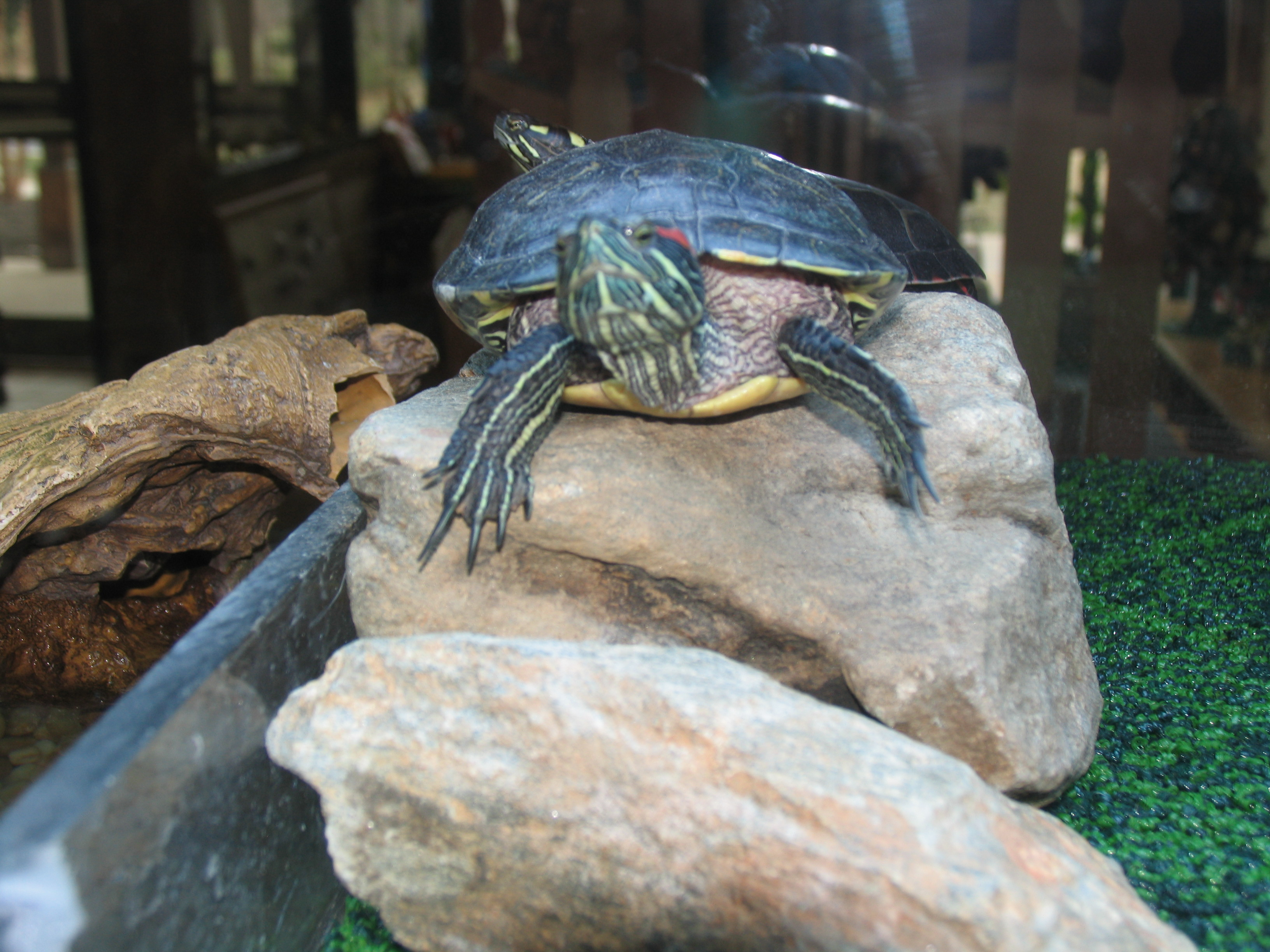 Diamondback Terrapin sitting on a rock