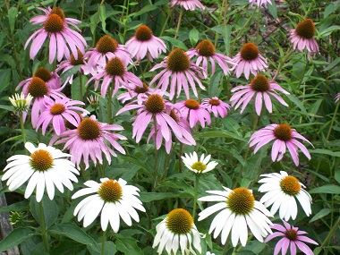 Purple and white coneflowers