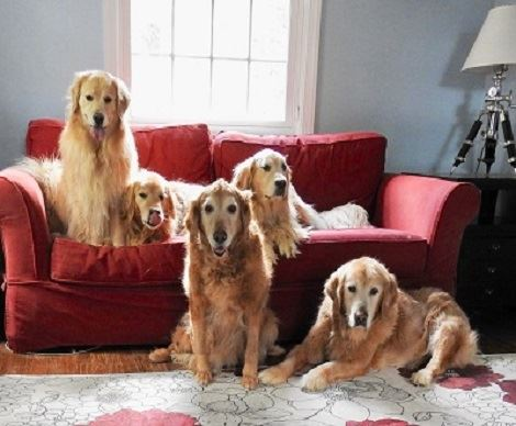 Golden Retrievers sitting on and next to a red couch