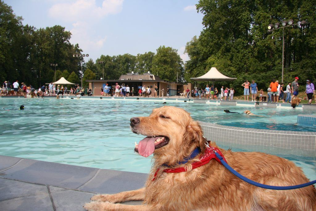 Golden Retriever laying by the outdoor pool
