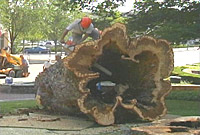 Silver Maple Cross Section